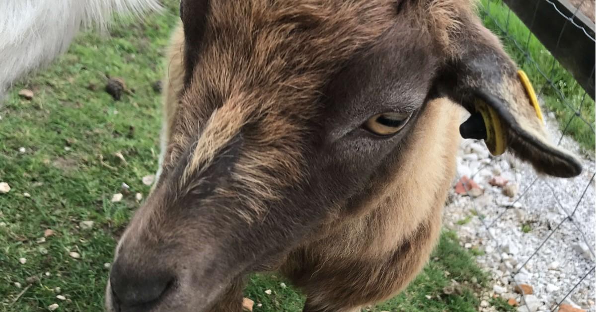Jay's seen a Goat